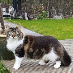Norwegian Forest Cat - Cattery av Verden