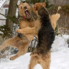Airedales play-fighting, snarling and baring their teeth, but just for fun Airedale Terrier, Welsh Terrier, Wire Fox Terrier, Terriers, Doge Dog, War Dogs, Cute Funny Animals, Dog Life, Dog Pictures