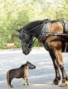mini horse //