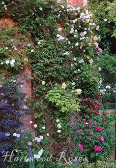 Hartwood Roses: Mottisfont Heritage Rose Foundation