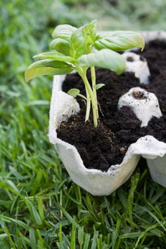 Paper egg cartons are biodegradable and can be easily pulled apart for planting.