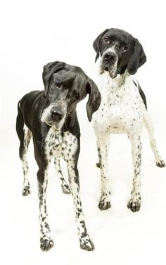 English dog breeds fall foul of their foreign cousins English Pointer Puppy, Pointer Puppies, English Dogs, Corgi Pembroke, Pet Dogs, Pets, The Kennel Club, Border Terrier, British Shorthair