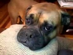 This is my Boxer that i have had for 3 years. My wife sent me this video while i was deployed to afghanistan the year of 2011-2012. lmk what you think and tell yoru friends about it!