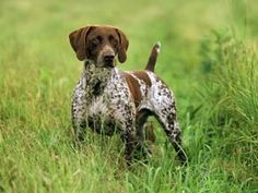 This dog looks so much like our German Shorthaired Pointer!