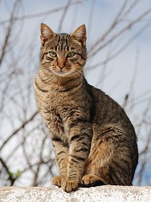 Tabby Cats What kind of cat is a tabby? 30 Tabby Cat Photos - A tabby is any domestic cat that has a coat featuring distinctive stripes, dots, lines or swirling patterns, usually together Chats Tabby, Grey Tabby Cats, Cats And Kittens, Black Cats, Ragdoll Kittens, Bengal Cats, White Kittens, I Love Cats, Cute Cats