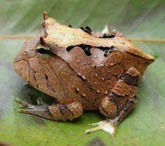 Brazilian Horned Frog