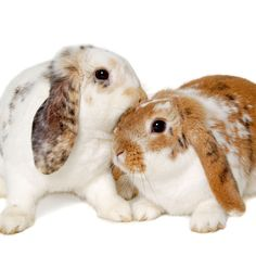 When to Start Breeding Rabbits: Wait to start breeding rabbits until your does are at an appropriate age, but be cognizant that complications can arise if you wait too long for your does to have their first litter. From MOTHER EARTH NEWS magazine Raising Rabbits For Meat, Meat Rabbits, Bunny Rabbits, Funny Bunnies, Cute Bunny, Rabbit Hutch Indoor, Country Critters, Rabbit Farm, Rabbit Breeds