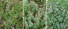 Three (easily mixed up) early spring plants | Ground Ivy, Purple Dead Nettle, Henbit