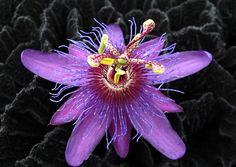 Passiflora+La+Morellina.jpg (800×567)