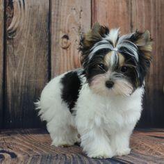 Biewer Terrier Puppy …