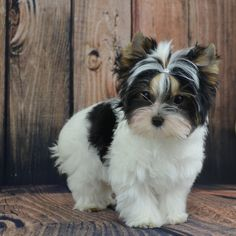 Biewer Terrier Puppy