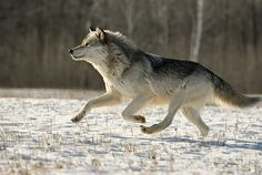 Google Image Result for http://www.vantagepointimages.com/uploads/processed/1015/1004040809061wolf-running-059-w.jpg