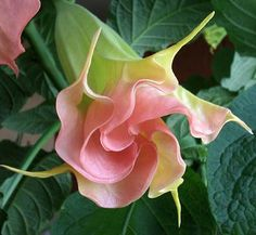 Angel& Trumpet is a lush exotic beauty from Brazil. Masses of voluptuous pink blossoms cover the huge plants from spring till frost, perfuming the night air with their exotic fragrance. Unusual Flowers, Unusual Plants, Exotic Plants, Beautiful Flowers, Patio Trees, Potted Trees, Lush Beauty, Pink Blossom, Plantation