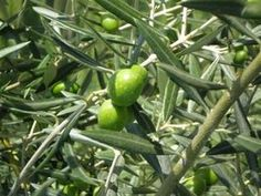 How to Grow Olive Trees at Home thumbnail