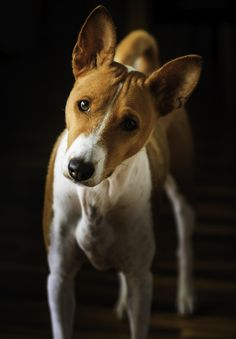 Turbo, Basenji. by Kjelle Lindstrom on 500px