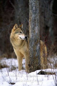 """"""" Sentry """"  Gray Wolf  ( Canis lupus ) in Winter - Montana   by Mark J. Thomas, Photographer"""