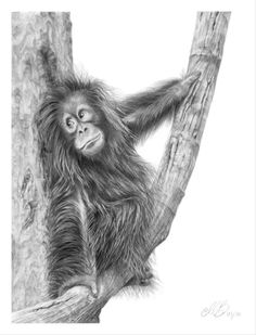 Orangutan Pencil Drawing Art Print / Greetings by MarieFineArt Animal Drawings, Pencil Drawings, Art Drawings, Monkey Art, Monkey Drawing, Baby Orangutan, Pencil Drawing Tutorials, Drawing Ideas, Desenho Tattoo