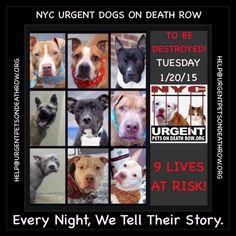 TO BE DESTROYED: 9 beautiful dogs to be euthanized by NYC ACC- TUES.. 01/20/15. This is a VERY HIGH KILL shelter group. YOU may be the only hope for these pups! ****PLEASE SHARE EVERYWHERE!!! To rescue a Death Row Dog, Please read this: mustread.urgentpe... To view the full album, please click here: www.facebook.com/...