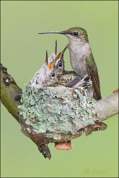 Ruby-throated Hummingbird Nest 9-1 | Flickr - Photo Sharing! by studebakerbirds.com - the babies are almost as big as their mom!