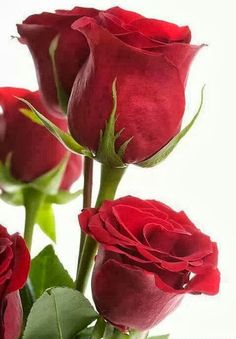 Grow & Care for Long-Stemmed Red Roses per rose !Buy for your love per rose ! Beautiful Rose Flowers, Amazing Flowers, Beautiful Flowers, Beautiful Beach, Beautiful Babies, Red Rose Bouquet, Types Of Roses, Hybrid Tea Roses, Exotic Flowers