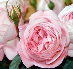 Voyage - Garden Rose