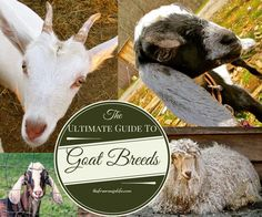 ultimate guide to goat breeds- The Free Range Life << I own La Mancha and grew up with Nubians. Best milk goats ever. They provide so much milk, we had to sell some! Raising Farm Animals, Raising Goats, Keeping Goats, Billy Goats Gruff, Goat Care, Nigerian Dwarf Goats, Future Farms, Baby Goats, Mini Goats