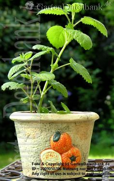 #Zitronenmelisse, #Melisse Melissa officinalis Als Topfpflanze, immer griffbereit auf Balkon oder Terrasse. | Standort, Ansprüche: Anbau - Licht: Sonne oder Schatten. Wasser, Gießen: Feuchter Boden ohne Staunässe. Angewachsene Pflanzen vertragen auch Trockenheit. Düngen: Nicht nötig. Boden, pH-Wert: Normaler Gartenboden, das Substrat kann sauer, neutral oder kalkhaltig (alkalisch) sein. Schneiden: Nach der Blüte oder im zeitigen Frühling bei Austriebsbeginn (ab Anfang Februar bis März) etwa…