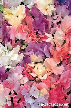 Sweet Pea buds---Sweet Peas are fragrant. 'Pastel Sunset' is a sweetly scented pastel mixture of rose-pink, cream, lavender-blue, shades of pink, peach and almond. Sweet Pea Flowers, My Flower, Wild Flowers, Beautiful Flowers, Pastel Flowers, Growing Sweet Peas, Sweet Pea Seeds, Pastel Sunset, Gardenias