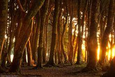 Bosque de Arrayanes milenarios, Isla Chaullín, Chile