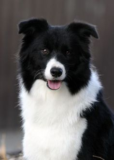Such a gorgeous border collie Big Dogs, I Love Dogs, Cute Dogs, Dogs And Puppies, Doggies, Beautiful Dogs, Animals Beautiful, Cute Animals, Border Collie Puppies