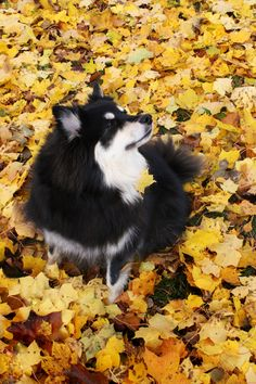 Beautiful Finnish Lapphund Dog in the Autumninal Woods