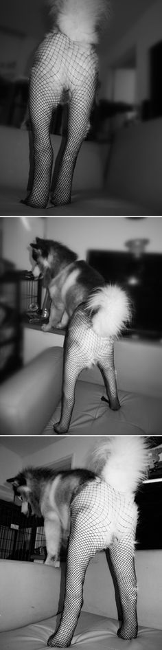 More Dogs Wearing Pantyhose  Cannot. Stop. Laughing.
