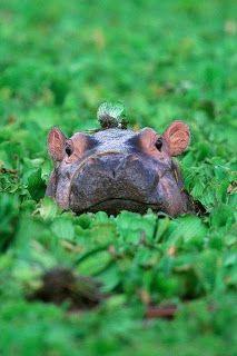 hippo in vegetation