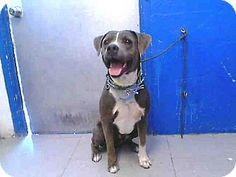 URG'T ~~ Breed:Pit Bull Terrier MixColor:Gray/Silver/Salt & Pepper - With WhiteAge:Young  Size:Large 61-100 lbs (28-45 kg)Sex:Male ID#:A4431800  A4431800's Story...  This DOG - ID#A4431800  I am described as a male, blue and white Pit Bull Terrier mix    The shelter thinks I am about 1 year and 5 months old.    I have been at the shelter since May 20, 2012.    Act quickly to adopt A4431800. Pets at this shelter may be held for only a short time.