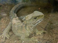 Tuatara male (Sphenodon punctatus) in Waikanae, New Zealand. Tuatara are reptiles endemic to New Zealand. Terrarium Reptile, Reptile House, Russian Tortoise, Living In New Zealand, Vertebrates, New Zealand Travel, Reptiles And Amphibians, Tortoises, Sons