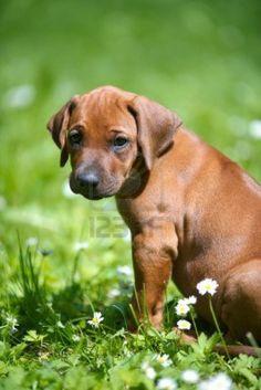 Image detail for -Leuke Rhodesian Ridgeback Puppy In Een Park Royalty-Vrije Foto ...