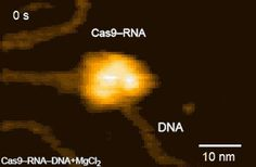 Single-molecule movie of DNA search and cleavage by CRISPR-Cas9.