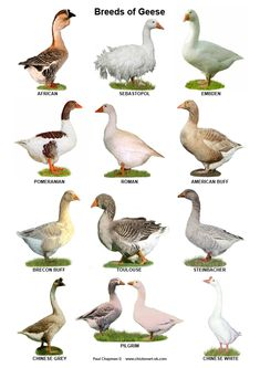 Geese Breeds, Duck Breeds, Bird Breeds, Farm With Animals, Types Of Animals, Zoo Animals, Cute Animals, Pet Ducks, Bird Identification