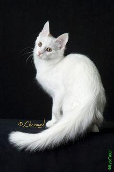 Turkish Angora | Cat Fancy