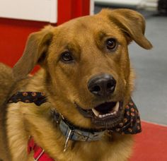 This dog is being fostered with New Hope Dog Rescue (Saskatoon). If you are interested in adopting please fill our Adoption Application. Meet and greet are by appointment only.Dewey is a very happy young Golden Retriever mix, born in August of 2012,...