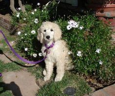 From our Poodles photo contest: Sofia is a 4-year-old Standard Poodle.