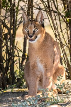 Caracal by Laurent Maggiore on 500px