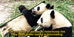 lmao :D Their low birthrate makes increasing their population difficult. | Pandas Are The Most Magical Creatures Ever