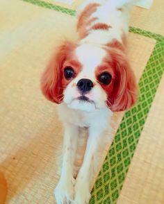 トリミングしてもらいました  なんか、思ってたのと違う。。  ブルゾンちえみみたいになって帰ってきた(´;ω;`) ブルゾンありすです35億    #キャバリアキングチャールズスパニエル#キャバリア#cavalier#cavalierkingcharlesspaniel#cavalife#alice#dog#baby#puppy#犬#ふわふわ#ふわもこ部#キャバリア部#my_sister#inustgram#いぬすたぐらむ#犬のいる生活#いぬバカ部#女の子#girl#天使#しゃくれ#あご#可愛い#ブルゾンちえみ#ブルゾンカット#初トリミング#ブルゾンありす