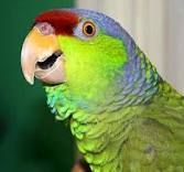 Amazon Parrots have an amazing ability to mimic human speech and other sounds.