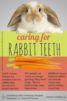 Caring for rabbit or bunny teeth. Click for tips. • Apple tree sticks are also good to help wear down teeth. Our rabbit lives knowing the bark off and playing with his stick. He gets fresh Timothy Hay every day and still had to have his teeth floated at one point. He enjoys dandelion greens from our untreated garden, kale, and carrots. He gets a peeled quarter of a banana as an occasional treat.
