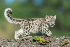Baby Snow Leopard, Leopard Kitten, Snow Leopard Tail, Cheetah, Big Cats, Cats And Kittens, Cute Cats, Beautiful Cats, Animals Beautiful