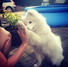 Photo Credit: Samoyed Facebook Group Cute Puppies, Cute Dogs, Dogs And Puppies, Animals And Pets, Funny Animals, Cute Animals, Beautiful Dogs, Animals Beautiful, American Eskimo Dog