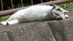 お昼寝最中にゃ~の猫(A-001)猫写真-横浜 #猫写真