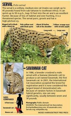 Savannah cat; although over $1k they are a leopard bloodline cat that has a dogs temperament